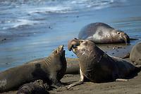 Elefant Seals rookery @ Piedras Negras, CA