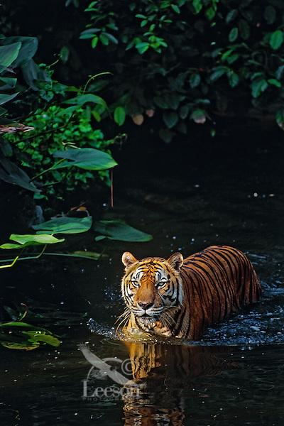 Sumatran Tiger (Panthera tigris sumatrae) wading in shallow rainforest stream.