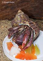 1Y30-508z Land Hermit Crab, Purple Pincher with crab food [grapes, papaya, fish], Carribean Hermit [Soldier Crab], Coenobita clypeatus