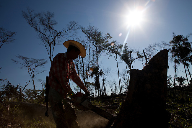 A laborer cuts trees for ranch fences at an illegal settlement in the Mayan Biosphere.
