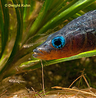 1S74-510z  Threespine Stickleback, Parental Male protecting young, Gasterosteus aculeatus,  Hotel Lake British Columbia