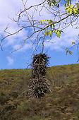 Chiclayo, Peru. Weaver bird's nest.