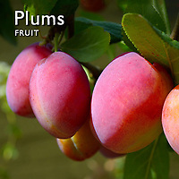 Plums & Greengages | Pictures Photos Images & Fotos