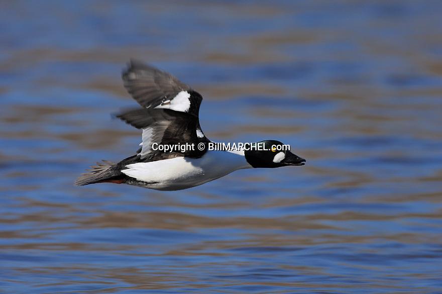 00316-004.20 Common Goldeneye Duck (DIGITAL) male is in flight low along the water.  H4R1
