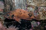 Acadian Redfish swimming left