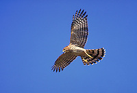 Immature Cooper's Hawk, in flight, screaming.