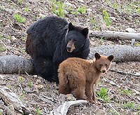 A black bear sow with cinnamon and black yearling cubs was seen frequently along the Tower Road throughout the spring.  She had been aggressive around the rangers, who were forced to occasionally use cracker shells to scare her off.  Here, she and one of her cubs look up after the rangers primed the shotgun to fire a cracker shell.