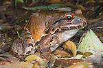 Smokey Jungle Frog (Leptodactylus pentadactylus). Forests near Napo River, Amazonia, Ecuador.