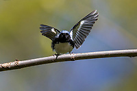 Black-throated Blue Warbler (Setophaga caerulescens caerulescens), male, a spring migrant foraging in Central Park, New York City, New York.