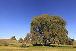 T-040 Eucalyptus in Wadi Hatzav