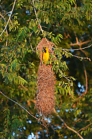 Altamira Oriole (Icterus gularis), adult at hanging nest, Laguna Atascosa National Wildlife Refuge, Texas, USA