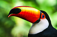 Exotic, isolated tucano-toco bird close-up portrait in natural setting, Iguacu National Park, Iguazu, Brazil and Argentina