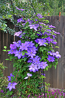 Blue Clematis,