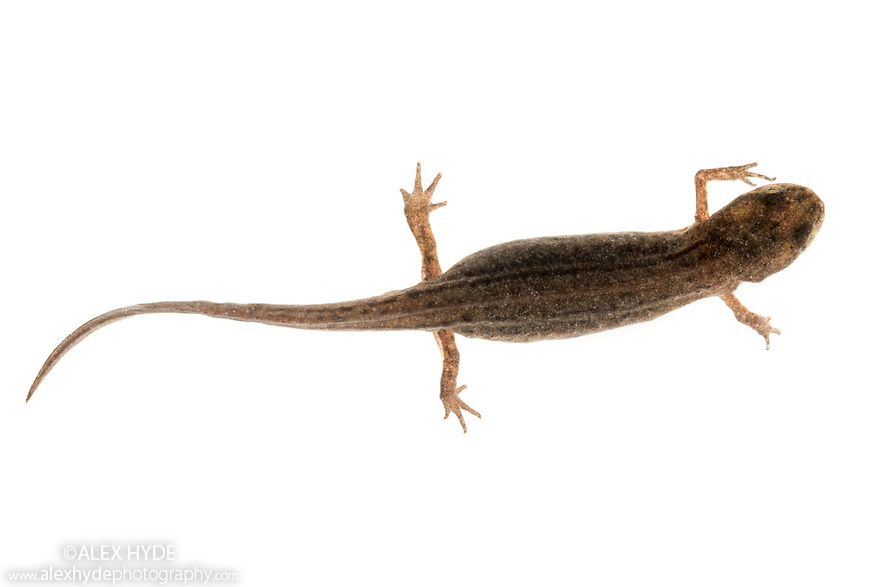 Smooth Newt (Lissotriton vulgaris) photographed in mobile field studio on a white background. Danube Delta, Romania. May.