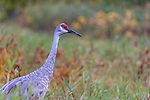 Sandhill crane in northern Wisconsin.