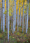 Gunnison National Forest, Colorado:  Understory and trunks of an autumn colored aspen (Populus tremuloides) grove
