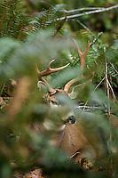 Coastal Black-tailed Deer buck (Odocoileus hemionus).  Pacific Northwest.  Fall.