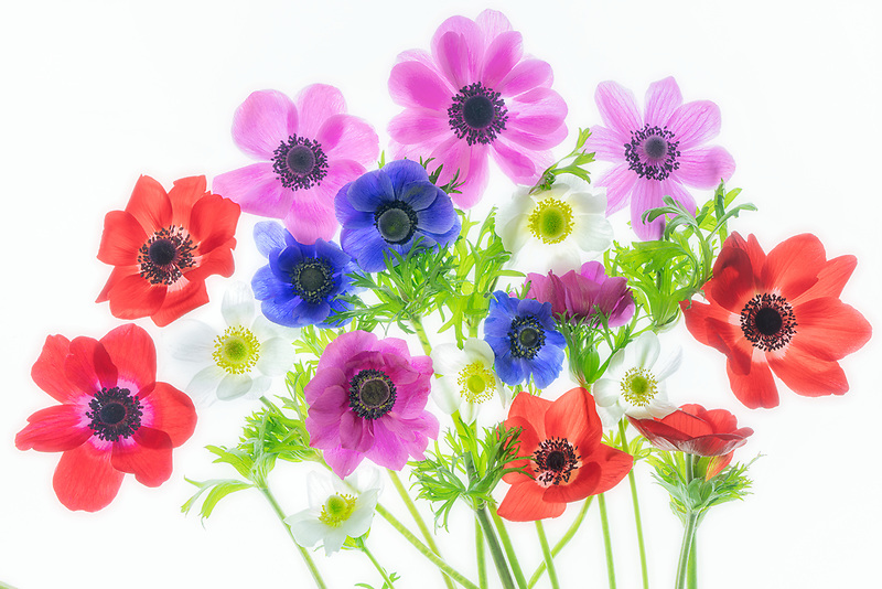 Bouquet of anemone flowers.