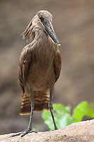 """The word hammerkop is Dutch for """"hammer head"""" which describes the general shape of its head. The hammerkop is known for the enormous nest it builds."""