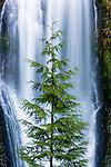 Multnomah Falls form a curtain behind a lone Western red cedar, Oregon