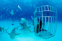 Lemon Sharks and Scuba diver in Shark cage, Negaprion brevirostris, Bahamas, Grand Bahama Island, Caribbean, Atlantic Ocean