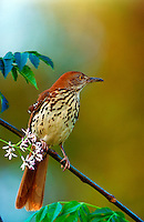 A Brown Thrasher.