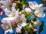 Deutschland, Bayern: Apfelblueten   Germany, Bavaria, Apple Blossom