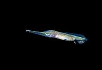 1 cm long larval Swordfish, Xiphias gladius, photographed during a Blackwater drift dive in open ocean at 20-40 feet with bottom at 500 plus feet below, Palm Beach, Florida, USA, Atlantic Ocean