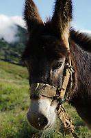Esel in den Süd-Ost-Bergen, Santo Antao, Kapverden, Afrika
