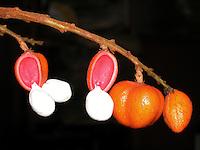 RESINA BREU BRANCO - BREU-BRANCO (Protium heptaphyllum, Burseraceae)<br /> <br /> DADOS FÍSICO-QUÍMICOS E COMPOSIÇÃO GRAXA<br /> <br /> As propriedades do óleo-resina do breu branco são similares à seus análogos do genero Boswellia encontrados na Índia e África. São constituídas por um grande número de monoterpenos como α-pireno (10,5%), limoneno (16,9%), α-felandreno (16,7%), e terpinoleno (28,5%).<br /> <br /> Devido à sua principal função aromática o óleo-resina é amplamente utilizado na perfumaria e produtos de higiene bem como na fabricação de sabonetes. O limoneno, presente no óleo de breu- branco, é um componente comum em fragrâncias e essências.<br /> <br /> USO POPULAR<br /> <br /> A resina do breu-branco é utilizada na medicina popular como antiinflamatório, analgésico, cicatrizante, estimulante; utilizado nas obstruções das vias respiratórias, bronquite, tosse e dor de cabeça. Também é empregado como incenso nas igrejas ou ainda como material de calefação de barcos.<br /> <br /> ECOLOGIA<br /> <br /> Ocorre nas matas de terra firme e é nativa em quase todo o Brasil. A árvore de breu-branco é aromática, tem de 10 a 20 metros de altura e tronco espesso de 50-60 cm de diâmetro na base e possui uma casca vermelho-escura. Quando é efetuado um corte no tronco é exsudado um óleo-resina, de cor branca-esverdeada e de aroma agradável, bastante perfumada. Quando o óleo-resina entra em contato com ar, endurece. O breu é coletado do tronco e do chão de maneira manual, durante o ano inteiro, mas principalmente no verão. Após a coleta deve ser colocado para secar a sombra e depois armazenado em sacos de fibra ou de juta. O primeiro corte na árvore do breu-branco pode ser efetuado entre 8 a 10 anos. Para ter uma exploração sustentável não são recomendados mais que 2 a 3 cortes por ano.<br /> Os rendimentos variam conforme o método de extração. No processo de hidrodestilação o rendimento da resina apresenta 11%, no arraste a vapor o rendimento da resina é de aproximadame