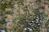 Europäischer Perückenstrauch, Perücken-Strauch, Perückenartiger Fruchtstand, Cotinus coggygria, Smoke Tree, Sumach, Arbre à perruque, Fustet