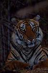 Tiger laying in brush near dark.