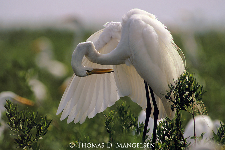 A Snowy Egret stands in a green field grooming itself.