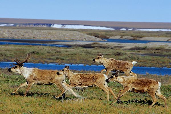 Barren ground caribou (Rangifer tarandus) on arctic coastal plain, Northern Alaska, Summer.