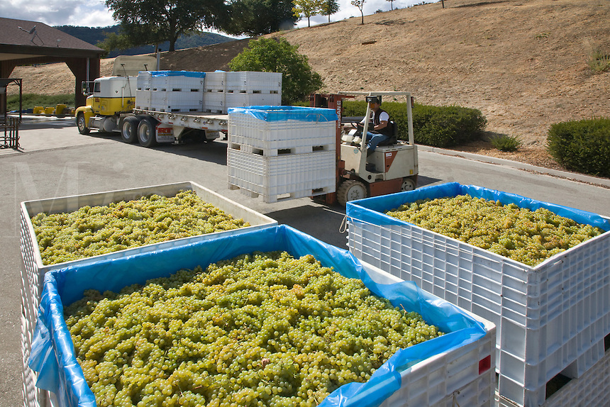 Bins of harvested CHARDONNAY grapes are delivered to JOULLIAN VINEYARDS - CARMEL VALLEY, CALIFORNIA