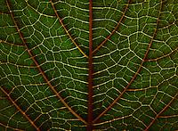 BOGOTÁ-COLOMBIA-12-01-2013. Hoja de un árbol en primer plano. Tree's leaf close-up. (Photo:VizzorImage)