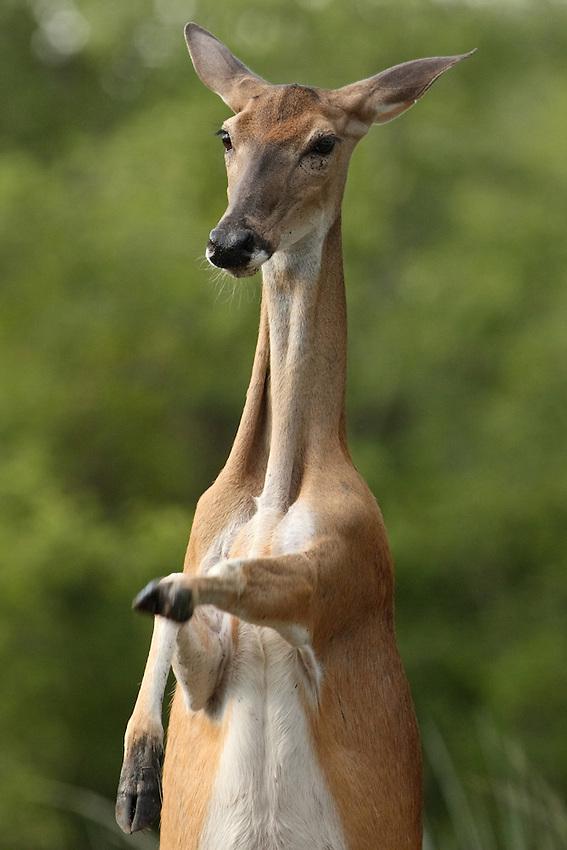 Whitetail doe exhibiting some assertive behavior.