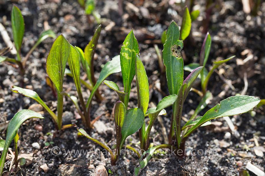 Ausdauerndes Silberblatt, Wildes Silberblatt, Mondviole, Silberling, Blatt, Blätter vor der Blüte, Lunaria rediviva, Perennial honesty
