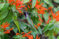 Male Costa's Hummingbird (Calypte costae) feeding on mexican firecracker flowers.  California