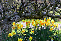 Dafodils framed by very old apple tree. Bush Park, Salem, Oregon