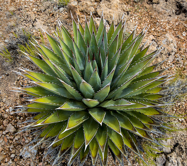An agave plant flourishes in the desert landscape in Northen Arizona