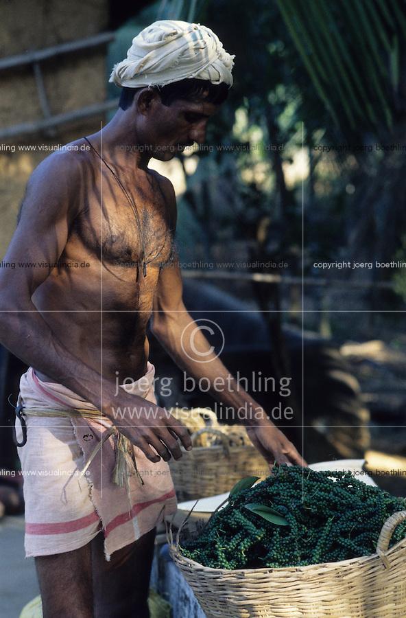 INDIA Karnataka Taccode, pepper harvest, green pepper berry after harvest / INDIEN Karnataka, Anbau von Pfeffer, gruenee Pfefferbeeren nach der Ernte, anschliessend werden sie in der Sonne getrocknet bis sie schwarz werden
