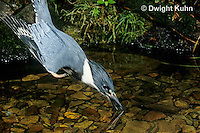 KG03-014x  Belted Kingfisher - male diving for fish in stream - Megaceryle alcyon