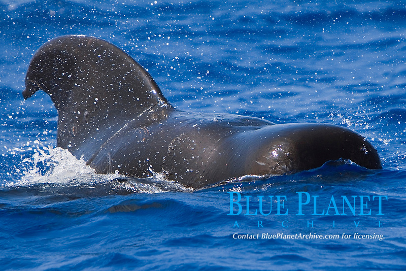 short-finned pilot whale, Globicephala macrorhynchus, bull, large male, Kona Coast, Big Island, Hawaii, USA, Pacific Ocean