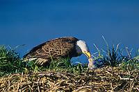 Bald Eagle feeding young eaglet, Alaska, June