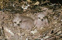 Schwarzmilan, Küken im Nest, Horst, Schwarz-Milan, Milan, Milvus migrans, black kite