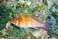 Dwarf hawkfish, Cirrhitichthys falco, Amami-ohsima island, Kagoshima, Japan, Pacific Ocean
