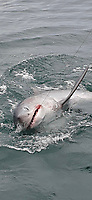 BNPS.co.uk (01202 558833)<br /> Pic: SimonDavidson/BNPS<br /> <br /> A big game fisherman was left trembling after reeling in a record-breaking 550lbs deadly shark.<br /> <br /> Simon Davidson, 39, hooked the monster shark just seven miles out from the Devon coast near Ilfracombe.<br /> <br /> He fought for about an hour to reel in the porbeagle, a relative of the Great White, and his body was 'battered' by the ordeal.