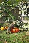 Norman on pumpkins