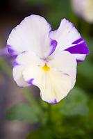 Viola cornuta Rebecca